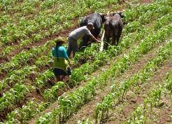 Corn-Fields-1