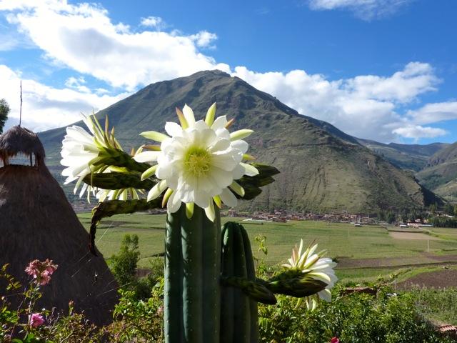 San Pedro in flower at Hummingbird Retreat Peru